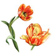 Wildflower tulip flower in a watercolor style isolated Stock Illustration