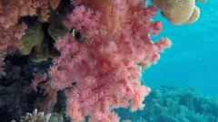 Colorful Underwater Broccoli Soft Coral Stock Footage