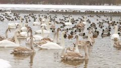 Birds on frozen lake at winter. Tens of hundreds of swans and ducks Stock Footage