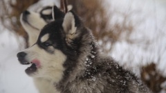 Winter landscape with pair of siberian husky malamute dogs posing outside Stock Footage