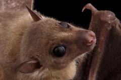 Egyptian fruit bat or rousette, black background Kuvituskuvat