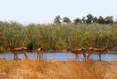 Impala antelope africa safari wildlife and wilderness Kuvituskuvat