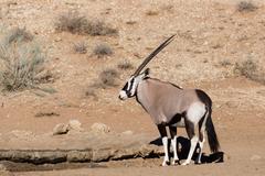 Gemsbok, Oryx gazelle in kgalagadi, South Africa safari Wildlife Stock Photos