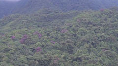Tilt down rainforest on the slopes of Reventador Volcano to a Cecropia tree Stock Footage