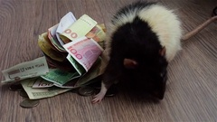 Black-and-white rat walking around money and sniffing. Grey textured background Stock Footage