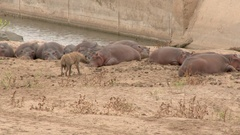 Hyena (Crocuta crocuta)  walking up to a group of  Hippo's Stock Footage