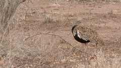 Red-Crested Korhaan ( Lophotis ruficrista) between thorny shrubs, feathers Stock Footage