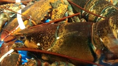 Live lobsters in a tank inside a restaurant Stock Footage