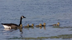 Canada Geese (Branta canadensis) family swimming across pond N America Stock Footage