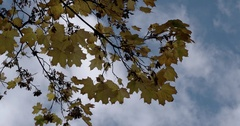 Golden Orange Autumn Leaves on Branches Trembling on the Background of Blue Sky Stock Footage