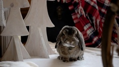 Rabbit Sniffs Christmas Interior Decorations in the Photo Studio Stock Footage