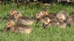 Canada Goose goslings resting and feeding (Branta canadensis) North America Stock Footage