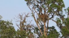 Bald Eagle Flies Away from Nest Towards Camera, 4K Stock Footage