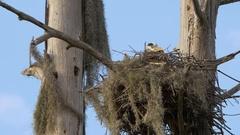 Great Blue Heron in Nest, 4K Stock Footage