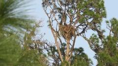 Bald Eagle Lands in Nest, 4K Arkistovideo