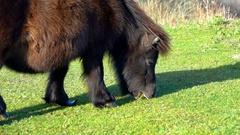 Pony, black pony on grass Stock Footage