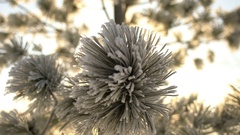 Fir tree branch in hoarfrost close-up 4k UHD (3840x2160) Stock Footage