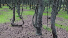Twisted trunks of pine trees in forest. Green moss, yellow fence handrail Stock Footage