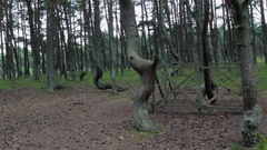 Twisted trunks of pine trees in forest. Green moss, wooden fence Stock Footage