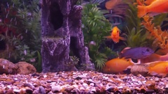 A cichlid aquarium. Stock Footage