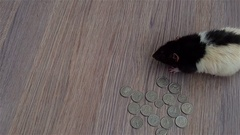 White and black rat walks around coins. US quarters Stock Footage