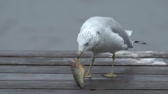 Seagull Violently Rips Flesh From Fish Stock Footage