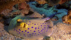 Underwater Colorful Bluespotted Stingray Stock Footage
