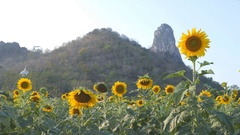 Sunflower with mountain and sky Stock Footage