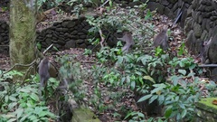 Family of monkeys climb up the lianas in tropical forests of Indonesia. Stock Footage