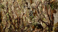 Lichen covered trees along Overland Track Stock Footage