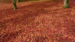 Autumn Leaves During Fall In Park In Kyoto Japan Asia Stock Footage
