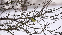 Little tit on tree at winter time Stock Footage