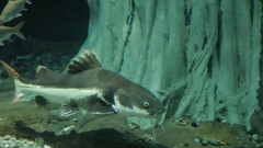 The redtail catfish, Phractocephalus hemioliopterus, is a pimelodid long Stock Footage