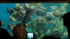 Piranha fish Pygocentrus nattereri floating in special aquarium with seaweed and Stock Footage