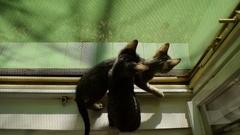 Kittens explore the world through an open window Stock Footage