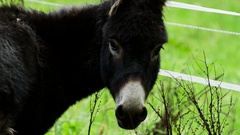 Black Donkey on Paddock Stock Footage