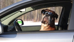 Boxer dog with sunglasses sitting on the driver seat. Stock Footage
