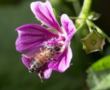 Bee on a purple flower. macro Stock Photos
