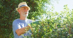 Senior man trimming hedge with a pair of gardening shears Stock Footage