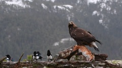 Golden Eagle (Aquila chrysaetos) feeding on Red Fox  (Vulpes vulpes) Eurasian Stock Footage