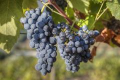 Grapes on vine, Alto Douro Wine Valley, UNESCO World Heritage Site, Portugal, Stock Photos