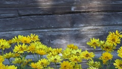 Yellow daisy flowers isolated on blurred grey wooden background. 4K Stock Footage