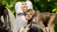 Male baboon and youngsters Stock Footage