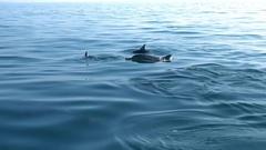 Dolphins swim past camera showing smooth backs above sea. Sri Lanka Stock Footage