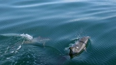 Dolphins play and chase each other in ocean shining in sun. Sri Lanka  Stock Footage