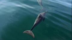Funny Dolphins swim underwater n calm tropic sea lit by sun. Sri Lanka Stock Footage