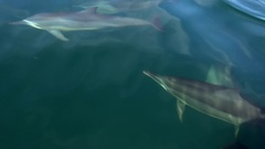 Group of Dolphins play and make flips in water shimmering in sunlight. Sri Lanka Stock Footage