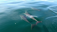 Spinner Dolphins move through sea water surfacing and sinking. Sri Lanka Stock Footage