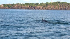 Big Blue Whale. Gorgeous marine mammal in natural habitat. Back view. Sri Lanka Stock Footage