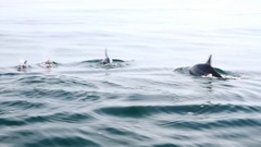 Dolphins swims breaking surface of water. Ocean creatures in wild. Sri Lanka Stock Footage